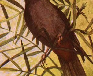 Abyssinian Catbird (Parophasma galinieri) Wing 83 – 91 mm