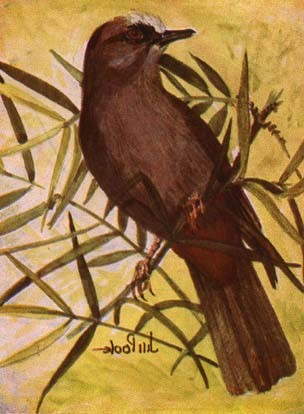 Abyssinian Catbird . . . Wing 83 – 91 mm