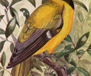 Black Headed Forest Oriole . . . Wing 128 – 145 mm