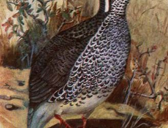 Harwood's Francolin . . . Wing 180 – 190 mm